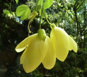 ชงโคดอกเหลือง