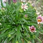 ดอกกาซาเนีย