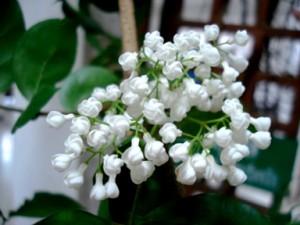 ดอกกุมาริกา
