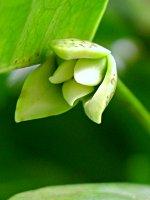 ดอกจำปูน