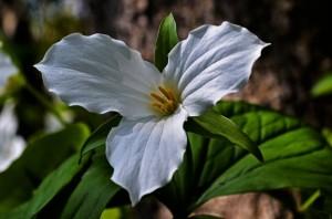 ดอกทริเลี่ยมขาว