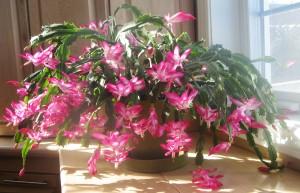 ดอกมังกรคาบแก้ว