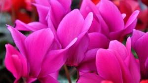 ดอกไซคลาเมน