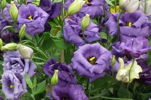 ดอกไลซิแอนทัส