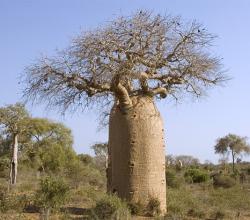 ต้นเบาบับ Baobab
