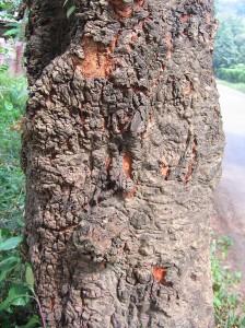 ต้นแดง