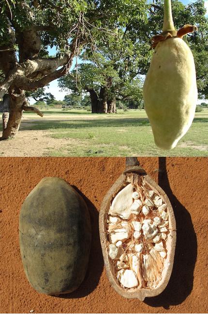 ต้นเบาบับ (Baobab Tree) ต้นไม้แห่งชีวิต
