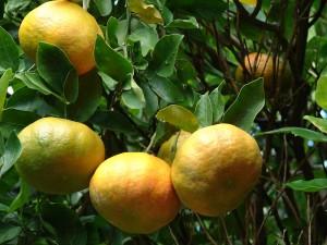 ส้มโชกุน