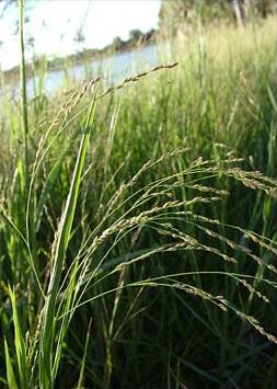 หญ้าชันกาด