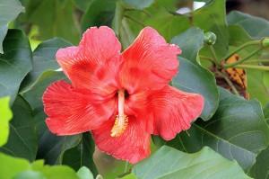 Flor de Maga